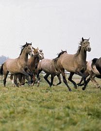 horseherd3