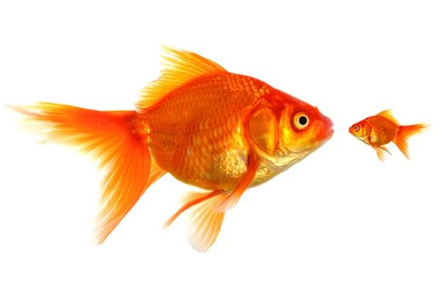 Mentoring Goldfish.jpg